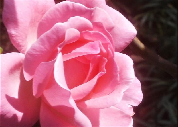 秋の薔薇@散歩道