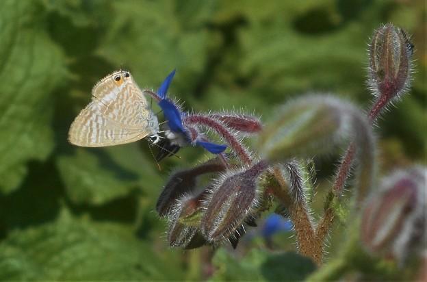 ブルーボリジの甘い香りに誘われて@ウラナミシジミ蝶
