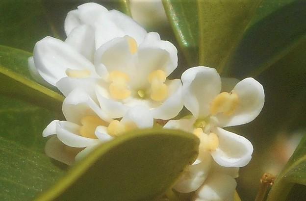 甘い香りの銀木犀(ギンモクセイ)の花