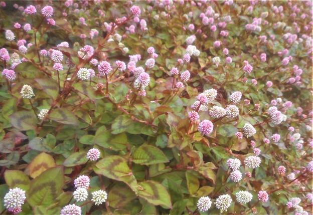 秋の文化の日の@ヒメツルソバの花