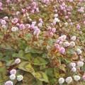 Photos: 秋の文化の日の@ヒメツルソバの花