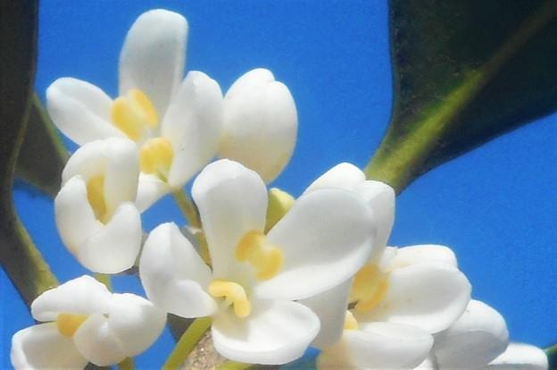 秋に咲く@白い銀木犀(ギンモクセイ)