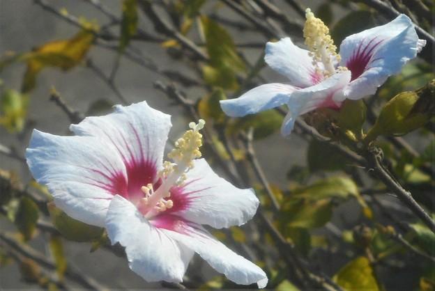 晩秋の木槿(ムクゲ)の花二輪