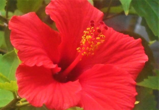 秋に咲く ハイビスカスの花