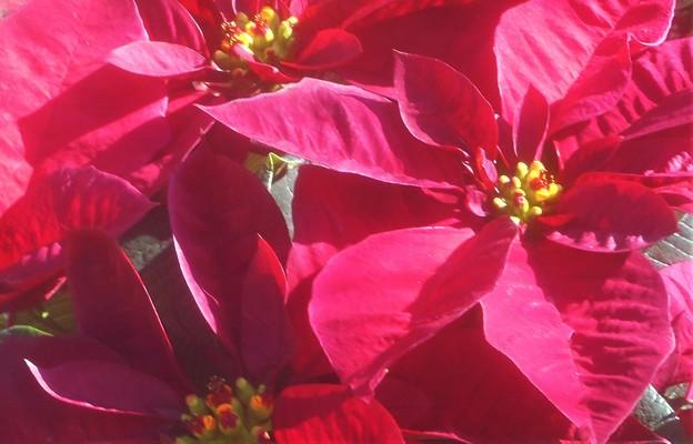 紅い ポインセチアの季節