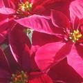 Photos: 紅い ポインセチアの季節