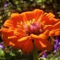 野に咲く オレンジ色の百日草(ジニア)@ホトケノザ