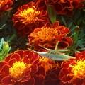 花園の オンブバッタ(カップル)