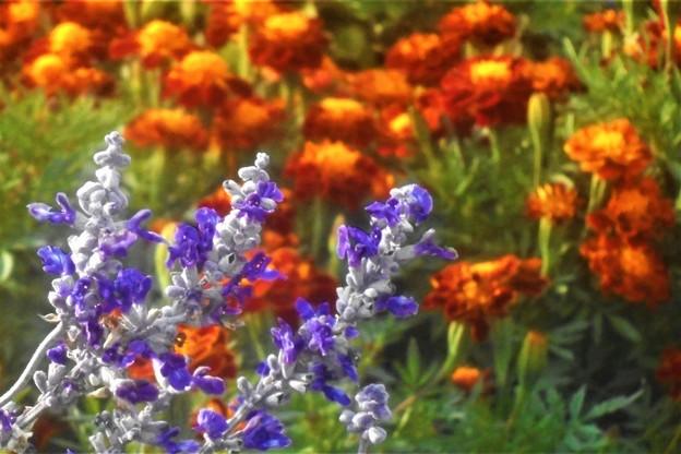 Photos: 晩秋の マリーゴールドと青い花