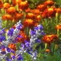 晩秋の マリーゴールドと青い花