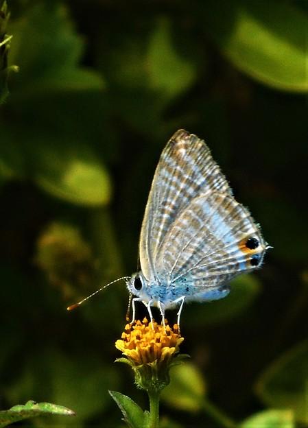 秋のウラナミシジミ蝶@散歩道