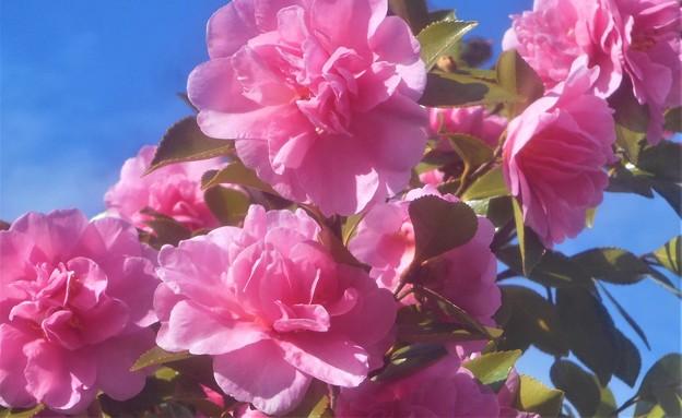 晩秋の御菓子処の庭に咲く@八重のサザンカ(ピンク系)
