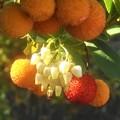 実りの秋@苺の木(イチゴノキ)の花と実@ツツジ科