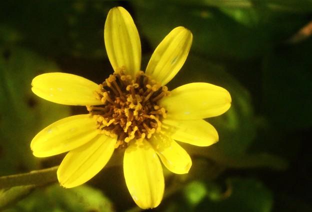 Photos: 晩秋に咲く ツワブキの花