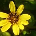 晩秋に咲く ツワブキの花