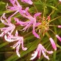 晩秋の庭に咲く@ピンク色の花
