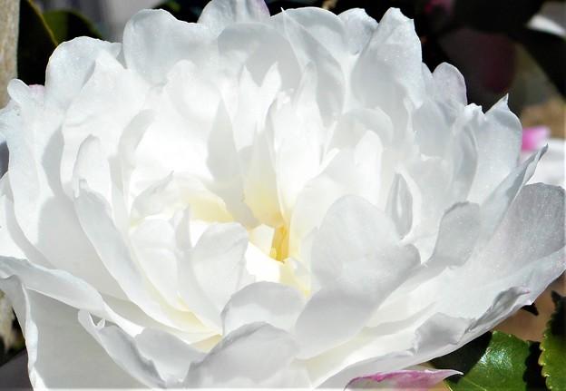 大輪の八重のサザンカ@冬の花