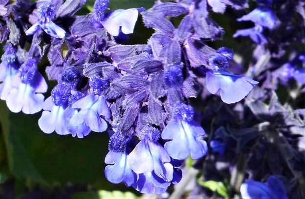 師走に咲く ブルーサルビアの花