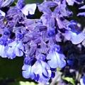 Photos: 師走に咲く ブルーサルビアの花