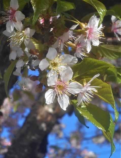 晩秋に咲く 桜花