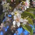 晩秋に咲く 桜花@冬桜