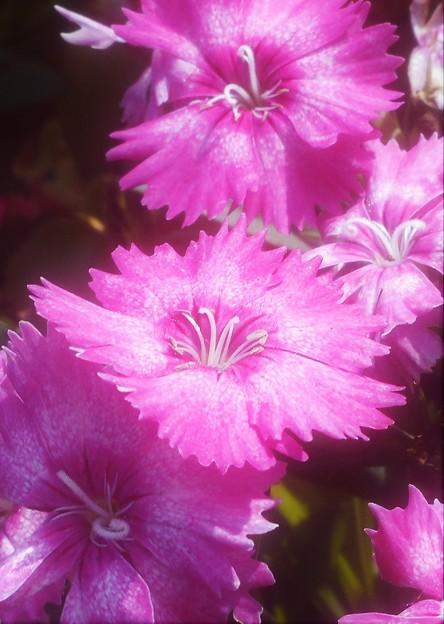 晩秋の高原に咲く@ナデシコの花