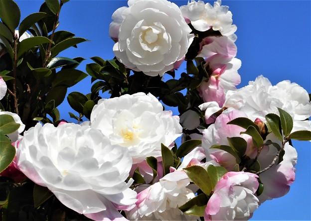 師走の空に@八重のサザンカ@冬の花