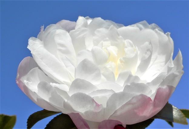 八重のサザンカ@冬の花