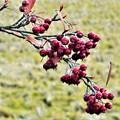 初冬の赤い実@散歩道