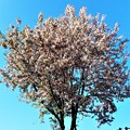 Photos: 初冬の桜