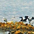 Photos: 野鳥の楽園@河口のアオサギたち