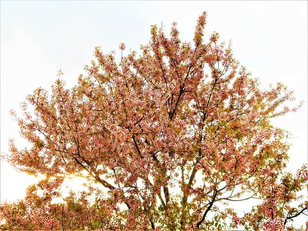 師走の冬桜
