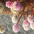 師走に咲く ヒメツルソバの花
