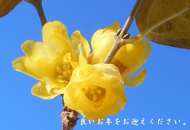 大晦日の甘い香りの素心蝋梅(ソシンロウバイ)@瑠璃山