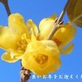 Photos: 大晦日の甘い香りの素心蝋梅(ソシンロウバイ)@瑠璃山