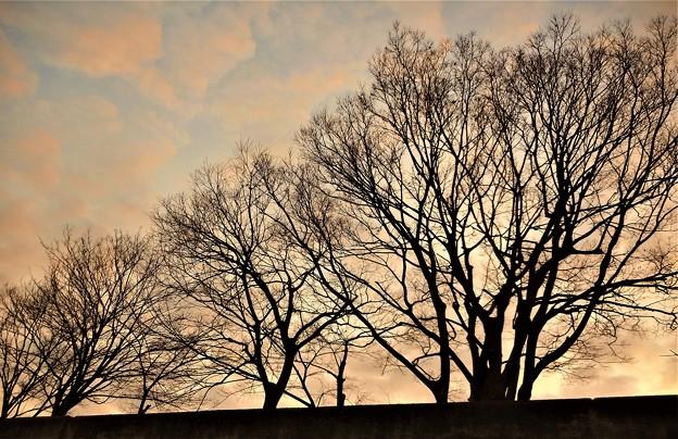 夕暮れの冬木立21.1.21