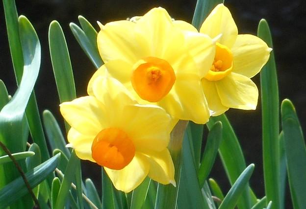 春の陽気の黄水仙@高諸神社周辺21.1.28