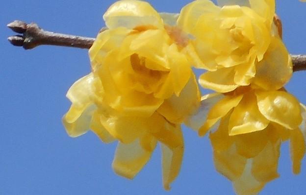 うららかに咲く ソシンロウバイ@高諸神社周辺21.1.28