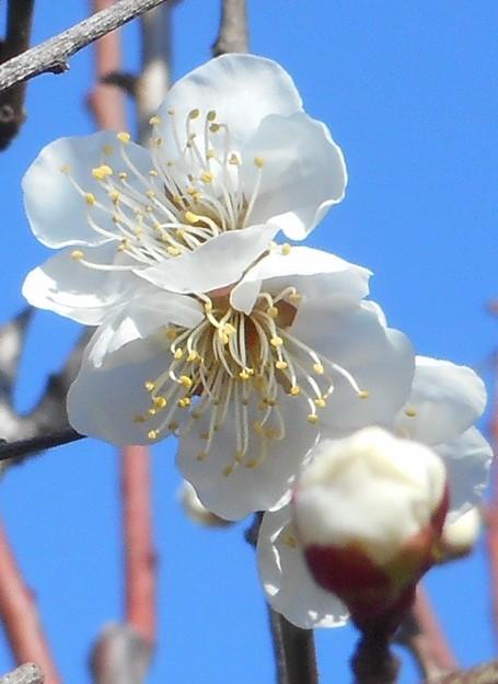 かぐわしく咲く@白梅の花21.2.4