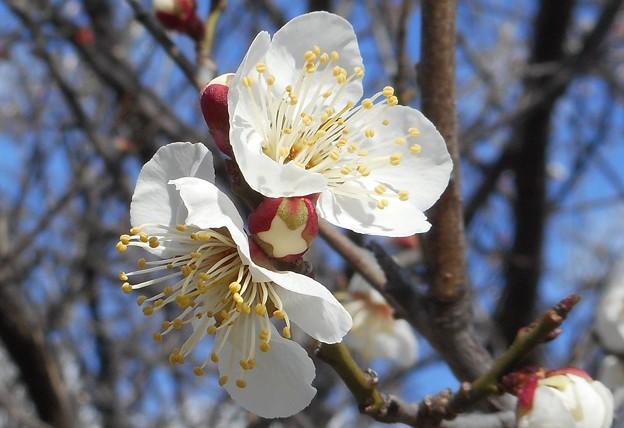 如月の白い梅の花@備後路21.2.18