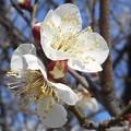Photos: 如月の白い梅の花@備後路21.2.18