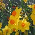 休日に咲く黄水仙21.2.21