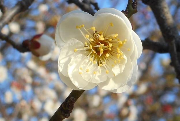 八重の白梅@境内に咲く21.2.21