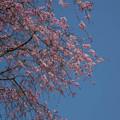 写真: 延楽寺枝垂れ桜7