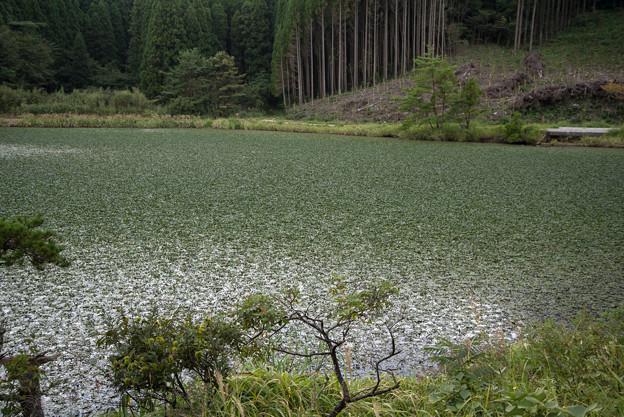湿原で-ヒツジグサ大群生-2