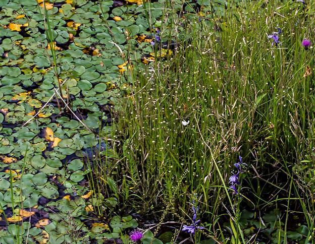 湿原で-サギソウ 今年最後の一輪
