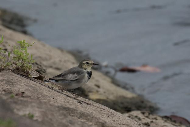 ハクセキレイ 幼鳥-1