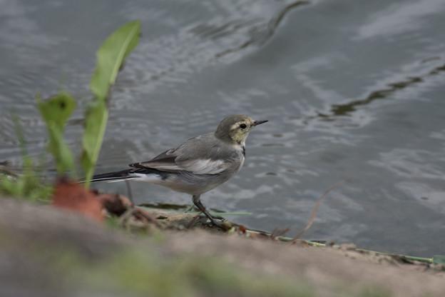 ハクセキレイ 幼鳥-3