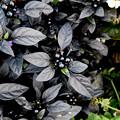 写真: 黒い装い 1