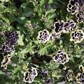 写真: ペチュニア 黒真珠